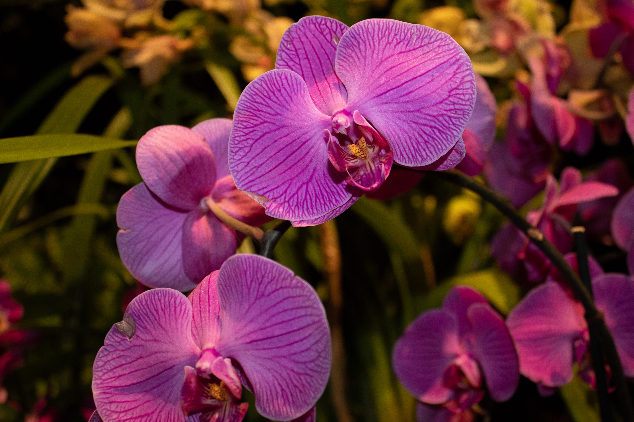 New York Botanical Garden: ORCHID EVENINGSjpg