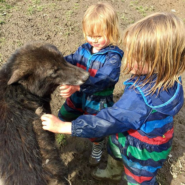 The little Ellis's got to spend time with Chemuhk today after helping mummy and daddy clean out and feed! #thewolfanddogdevelopmentcentre #wolfcentre #wolfdog #wolves #shaunellis #wolfman #wolfboys #chemuhk #cornwall