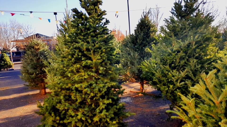 Noble Firs -