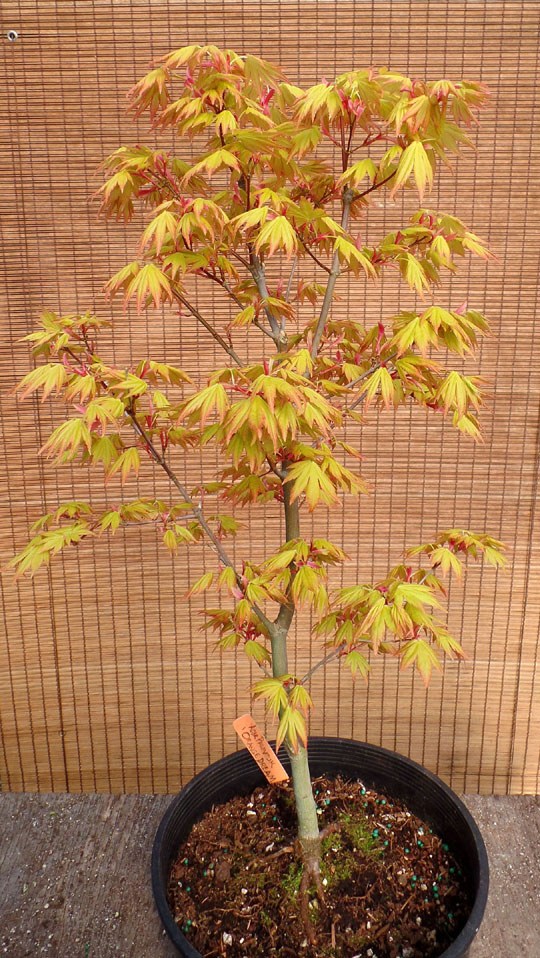 Acer Palmatum Orange Dream Wabi Sabi Bonsai