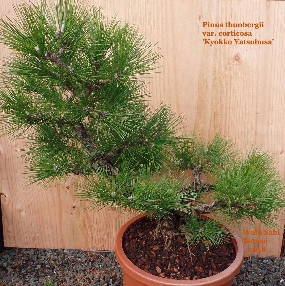 Pinus Thunbergii Var Corticosa Kyokko Yatsubusa Wabi Sabi Bonsai