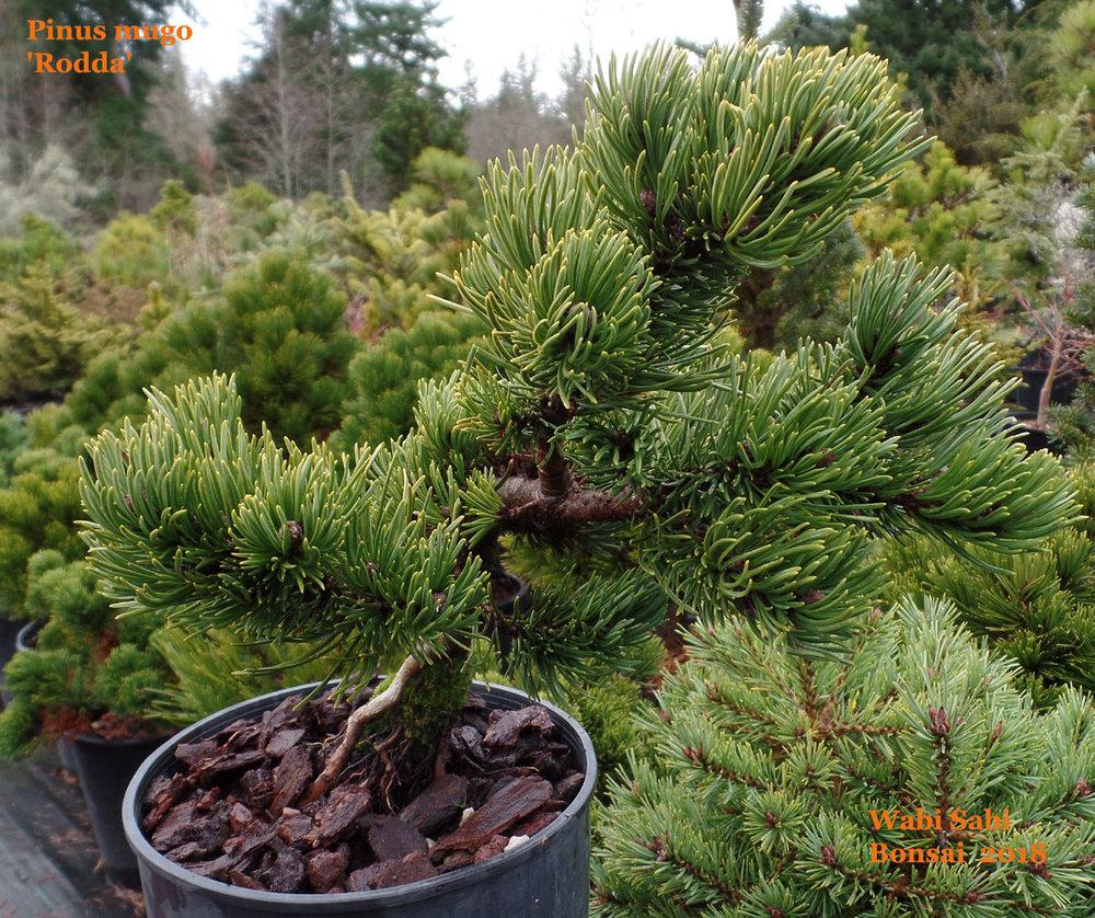 Pinus Mugo Rodda Wabi Sabi Bonsai