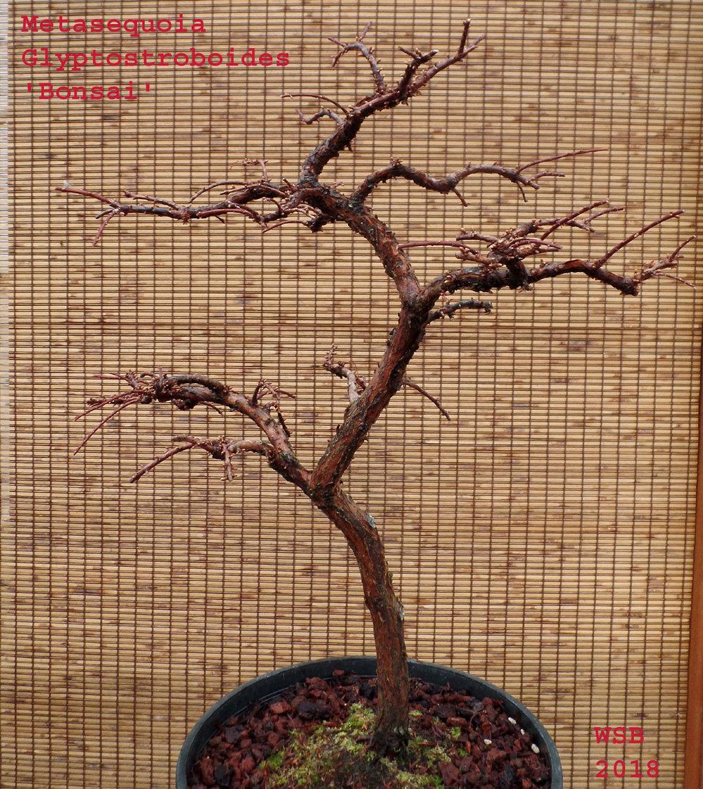 Metasequoia Glyptostroboides Bonsai Wabi Sabi Bonsai