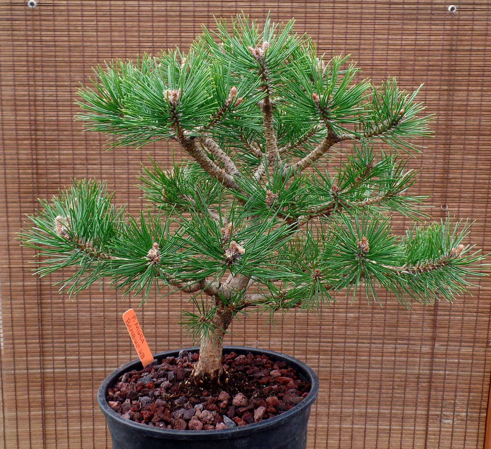 Pinus Nigra Gaelle Bregeon Wabi Sabi Bonsai