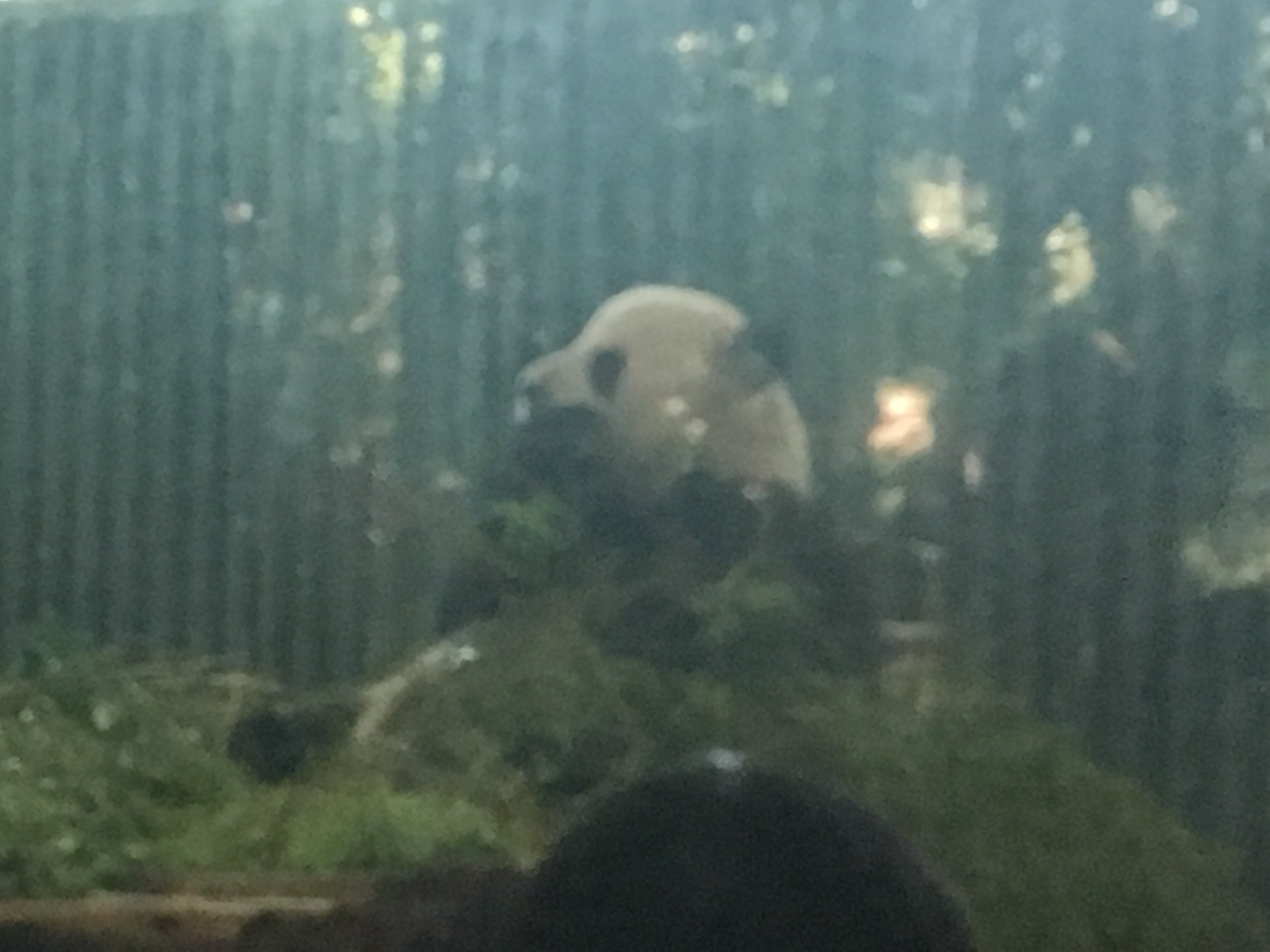 Spirt Animal PANDA  - Shanghai Zoo - I mean if you didn't get a picture of a Panda did you even really go?!?