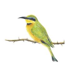 bird drawing matthew bell