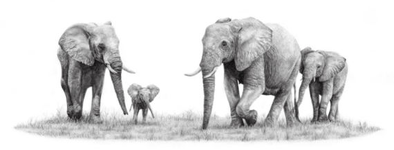 Matthew Bell Elephant Drawing