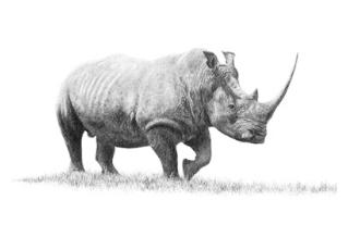 Matthew Bell Rhino Drawing