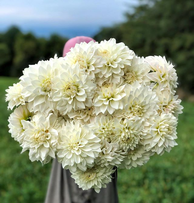"""Spent the day dividing and packing tubers from these beauties but the surface is barely scratched. 😳✂️ I have a feeling that there's a """"dividing tubers"""" dream in my furture. ✨🛏 #beauconwhite 🌸 #pepperharrow #pepperharrowdahlias #pepperharrowflowers #iowaflowers #iowadahlias #iowa"""