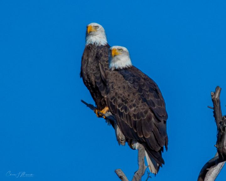 Bald Eagles, Avondale, AZ