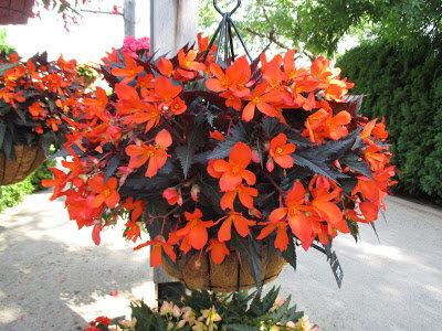 Begonias Container Plants Morven Museum Garden
