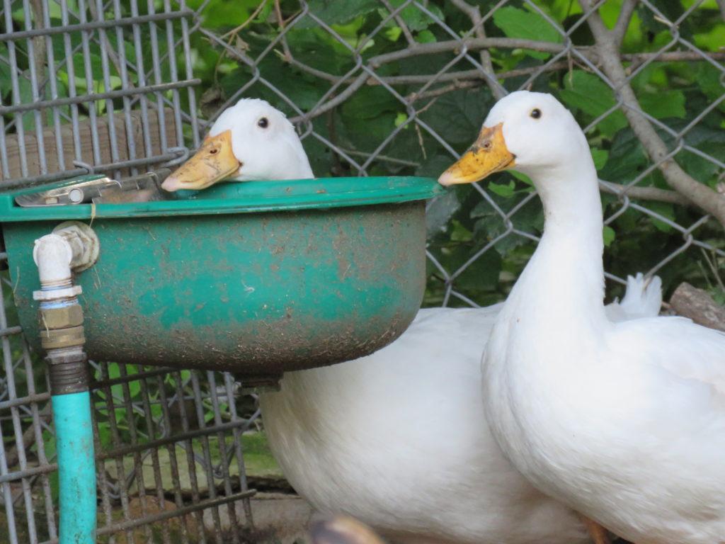 Ah, the ducks.