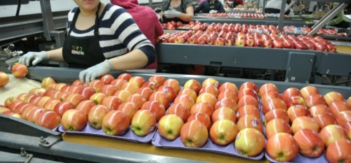 Fuji apples in the packinghouse