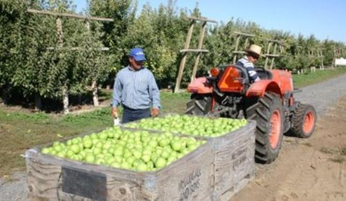 Granny Smith apples in harvest bins