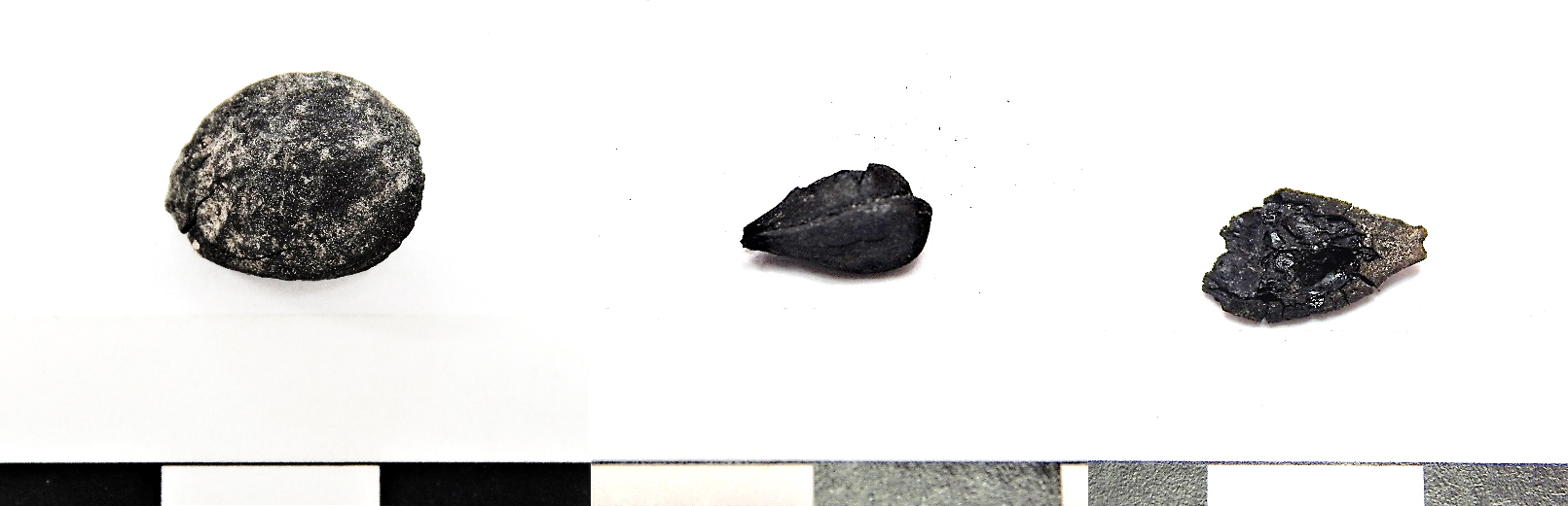 figure 3.  sample of carbonized fruit seeds from feature 341. left to right: plum (prunus domestica), apple or pear (malus sp.), squash (cucurbita sp.) 1 cm scale.