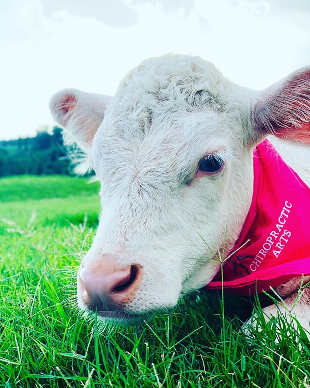 Happy Cow Appreciation Day! We are kinda biased but we think Louise the Chiropractic Arts Cow is the cutest around! #cowappreciationday #louise #chiropracticcow