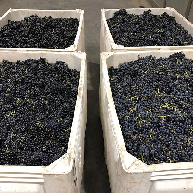 Yesterday we harvested some Chambourcin and Petit Verdot to mix together for our next port style wine Midnight Run!🍷. Watch out for this batch in a couple years! Great fruit this harvest season🍇. #2019harvest #ncwine #yadkinvalleywine #drinklocal #portlovers