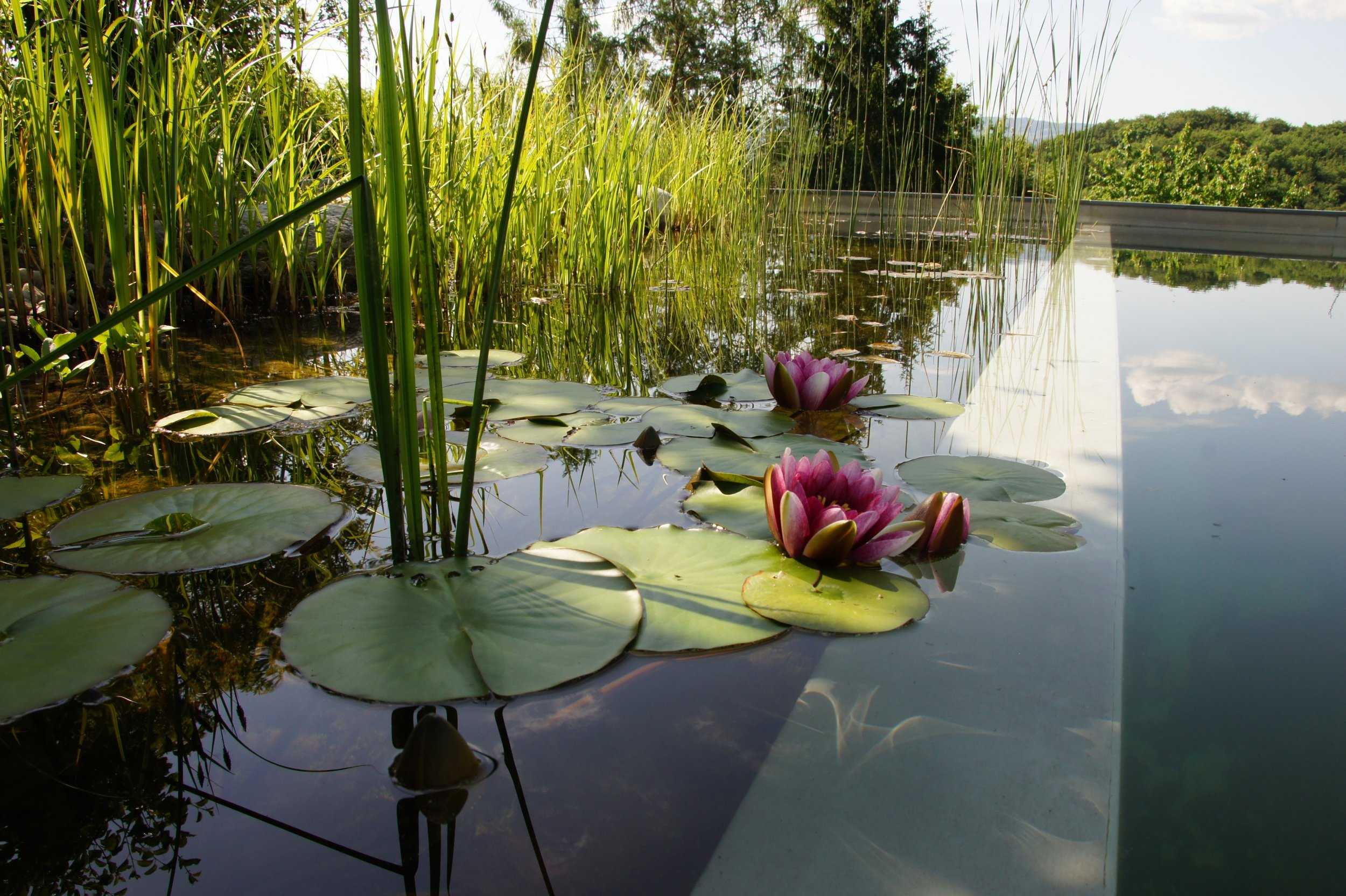 detail Example - Aquatic plants improve the aesthetics and biodiversity of a pool, more reasons to convert!