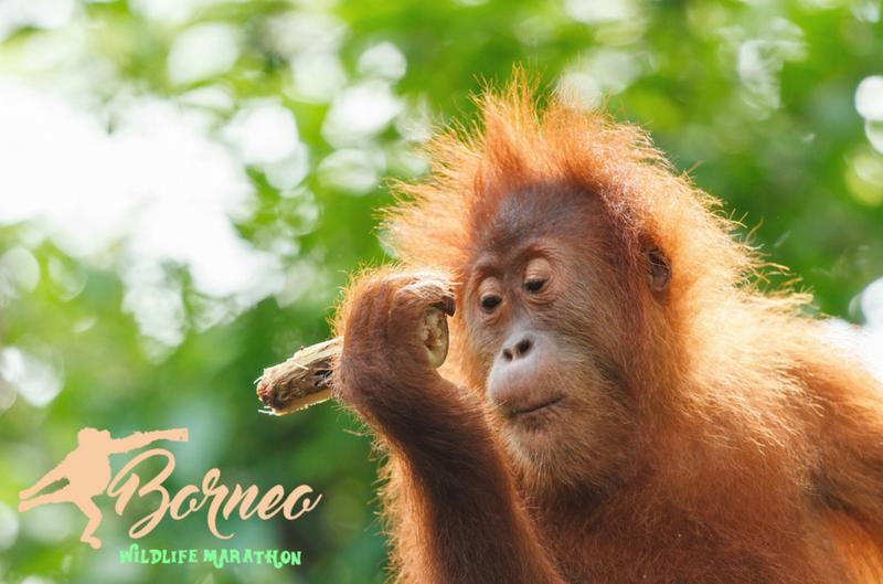 borneo wildlife.png