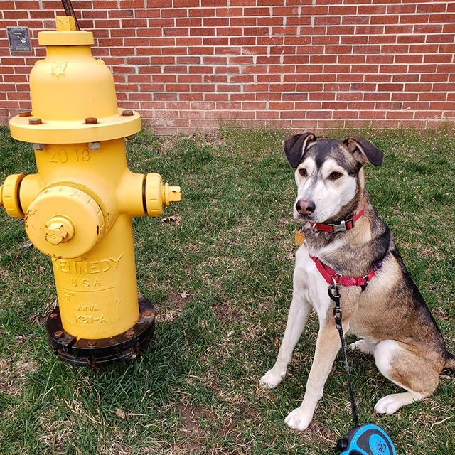 In honor of National Pet day, share some pics of your fur babies with us! This is Jay's family dog Shelby, who was nice enough to pose right next to the bright yellow fire hydrant 😁 + + + + + #nationalpetday #furbabies #jayandray #greenwichmoms #darienmoms #newcanaanmoms #norwalkmoms #rowaytonmoms #stamfordmoms #fairfieldct #ctkids #kidsrock #toddlersrock #mommyandme #daddyandme #kidsmusicclass #babymusicclass #babiesrock #stamfordct #greenwichct #darienct #newcanaanct #rowaytonct #fairfielcounty