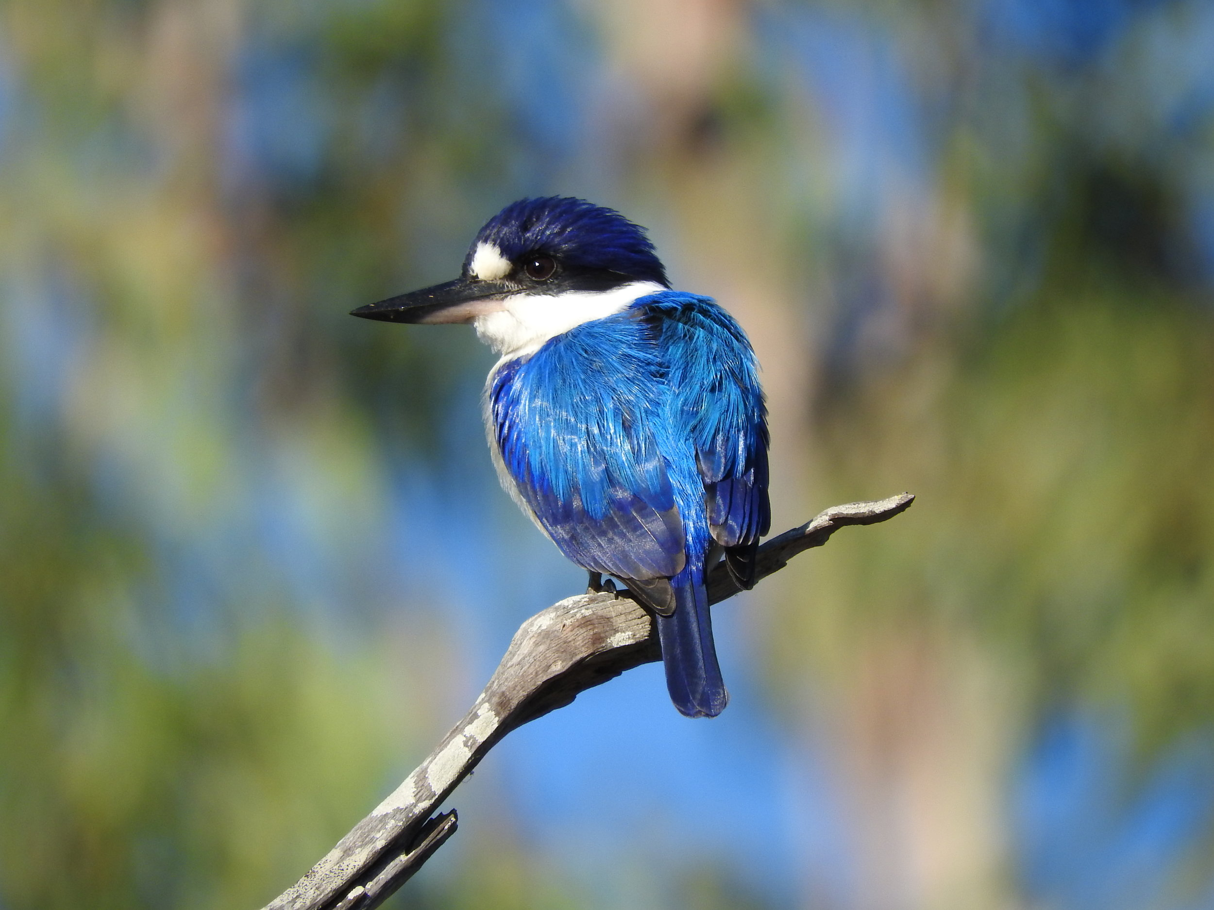 Forest Kingfisher in the Kimberley