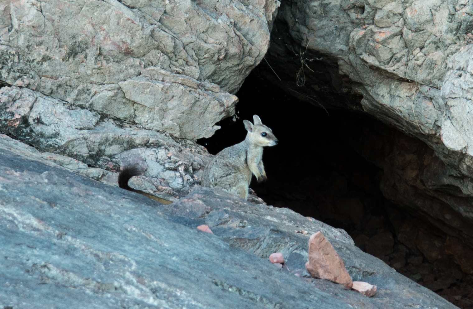 A Short-eared Rock-wallaby in the Kimberley WA  Photo credit: Kimberley Off-Road Adventure Tours