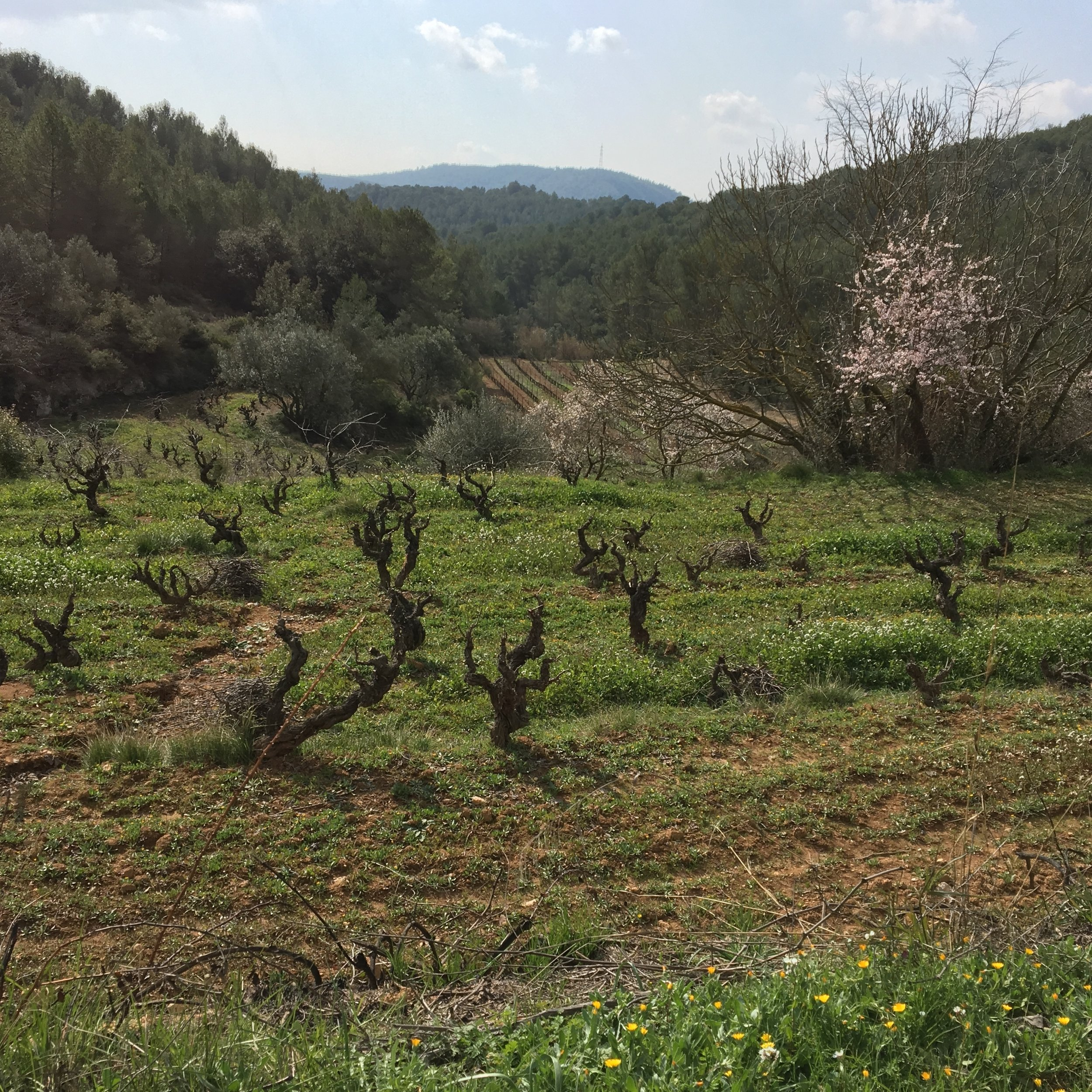 Almond blossom and old vines in February. Raimon is experimenting with leaving ground cover intact as he moves towards biodynamic agriculture.