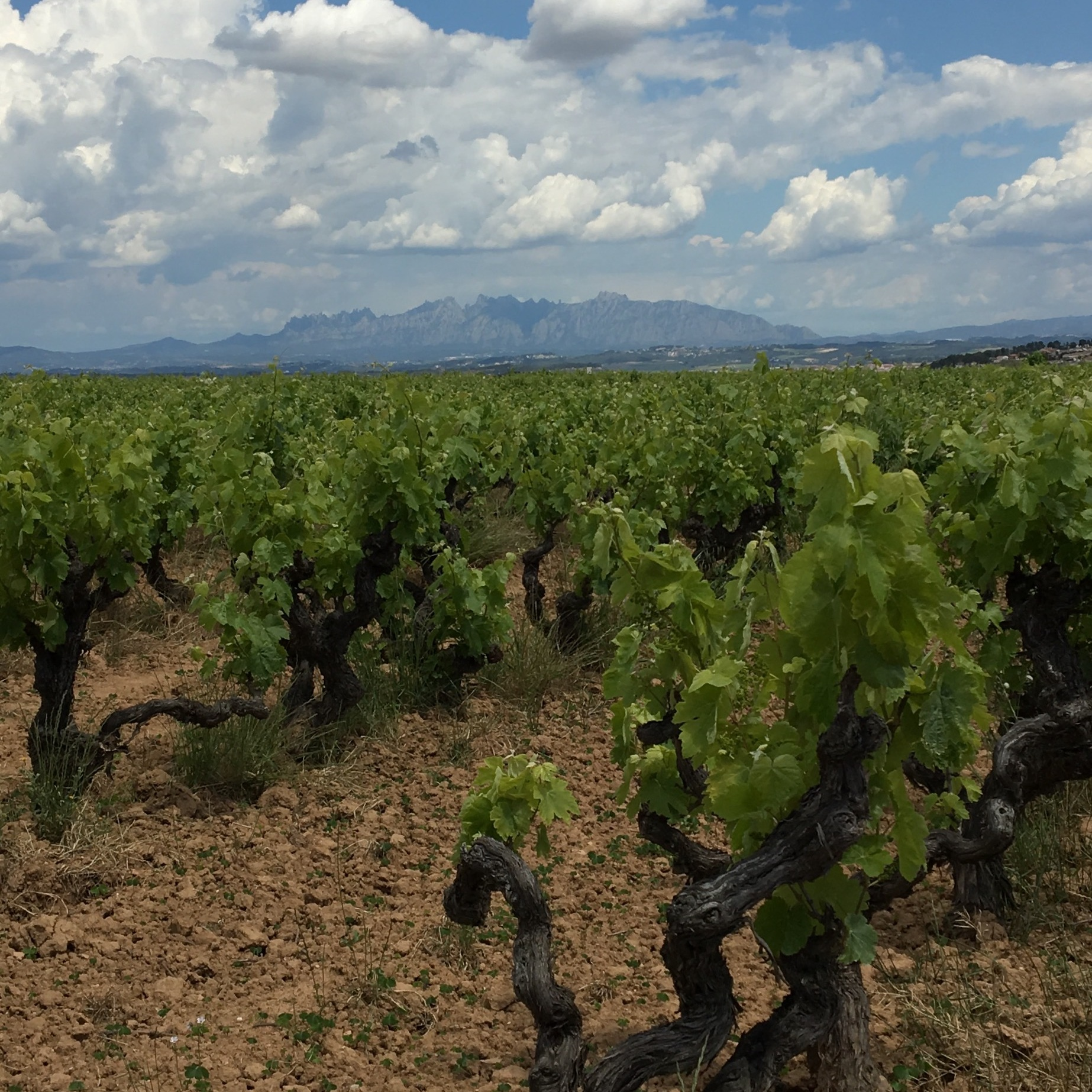 Old vine xarel·lo grown in the traditional bush shape. That's Montserrat in the distance.