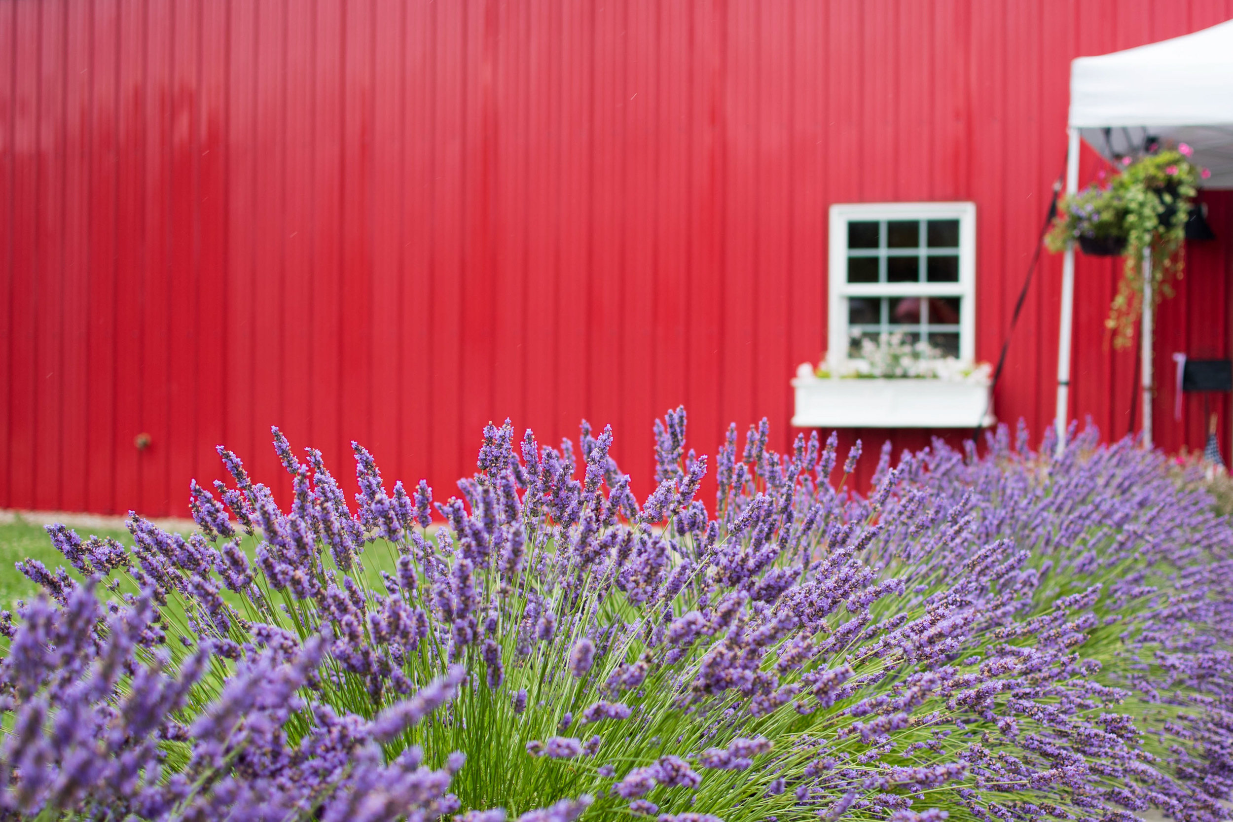 Lavender and red barn
