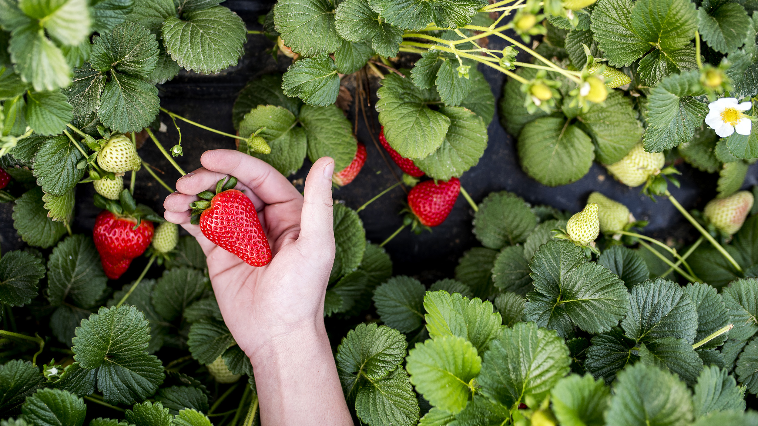 Direct from the field - Strawberries