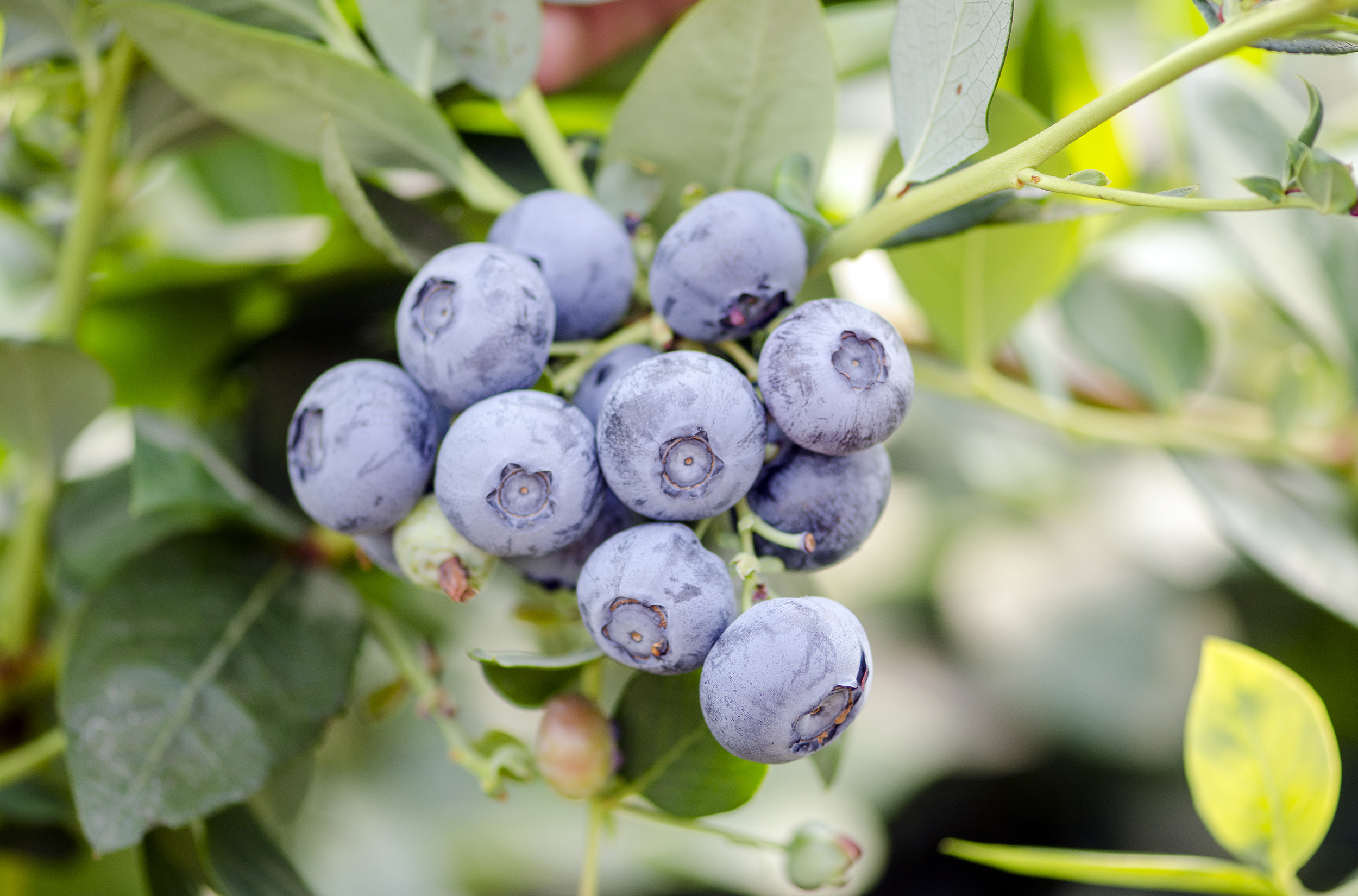 Direct from the field - Blueberries