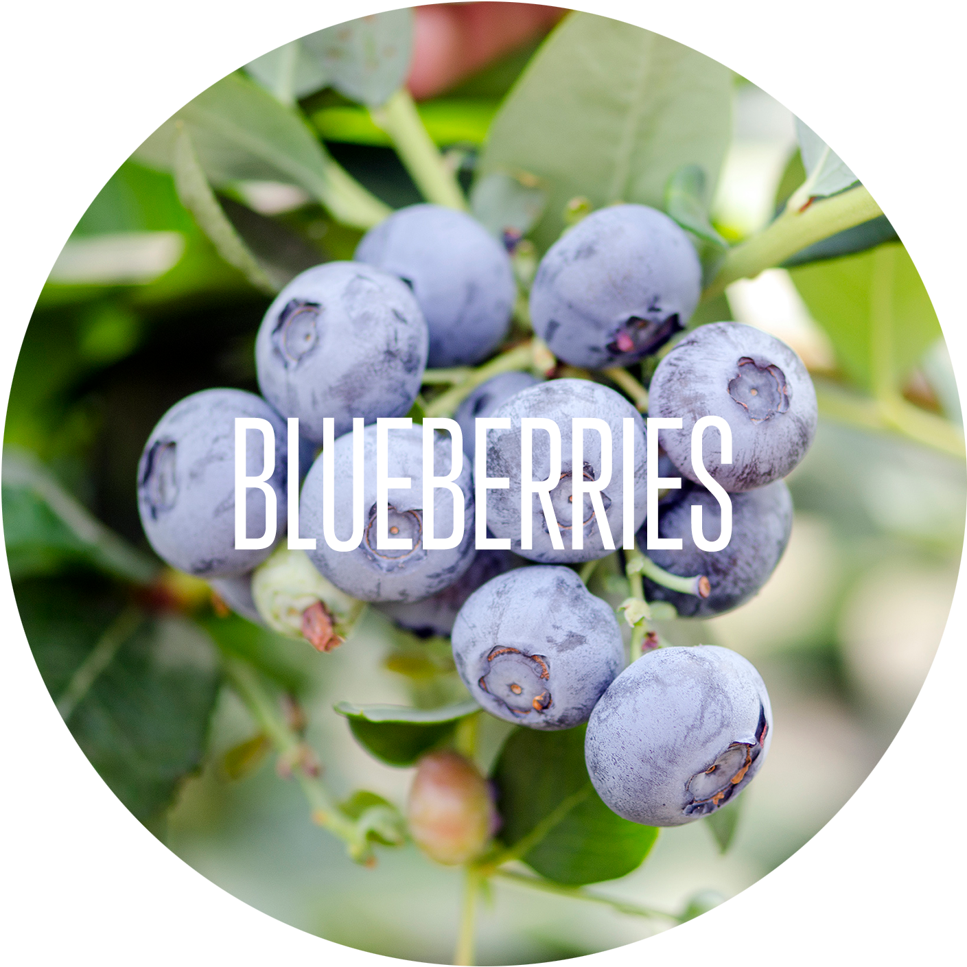 Blueberry - Our Products.png