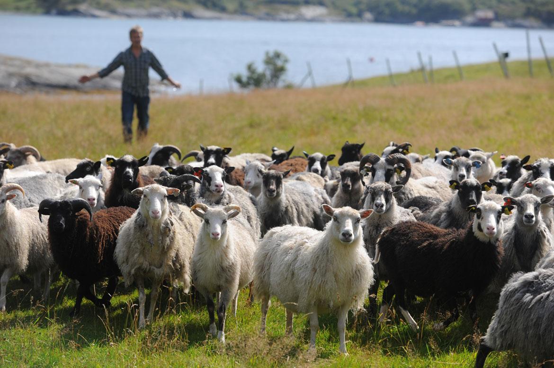 Πρόβατα στη Νορβηγική εξοχή