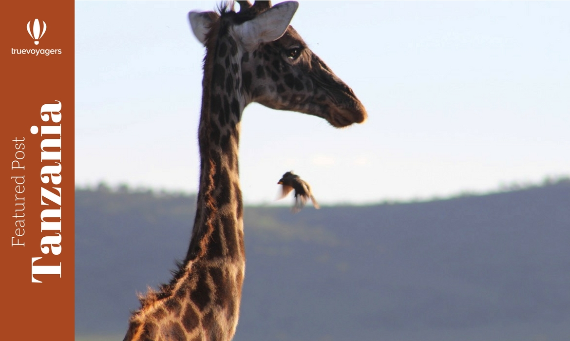 Tanzanian_Giraffe_and_bird.jpg