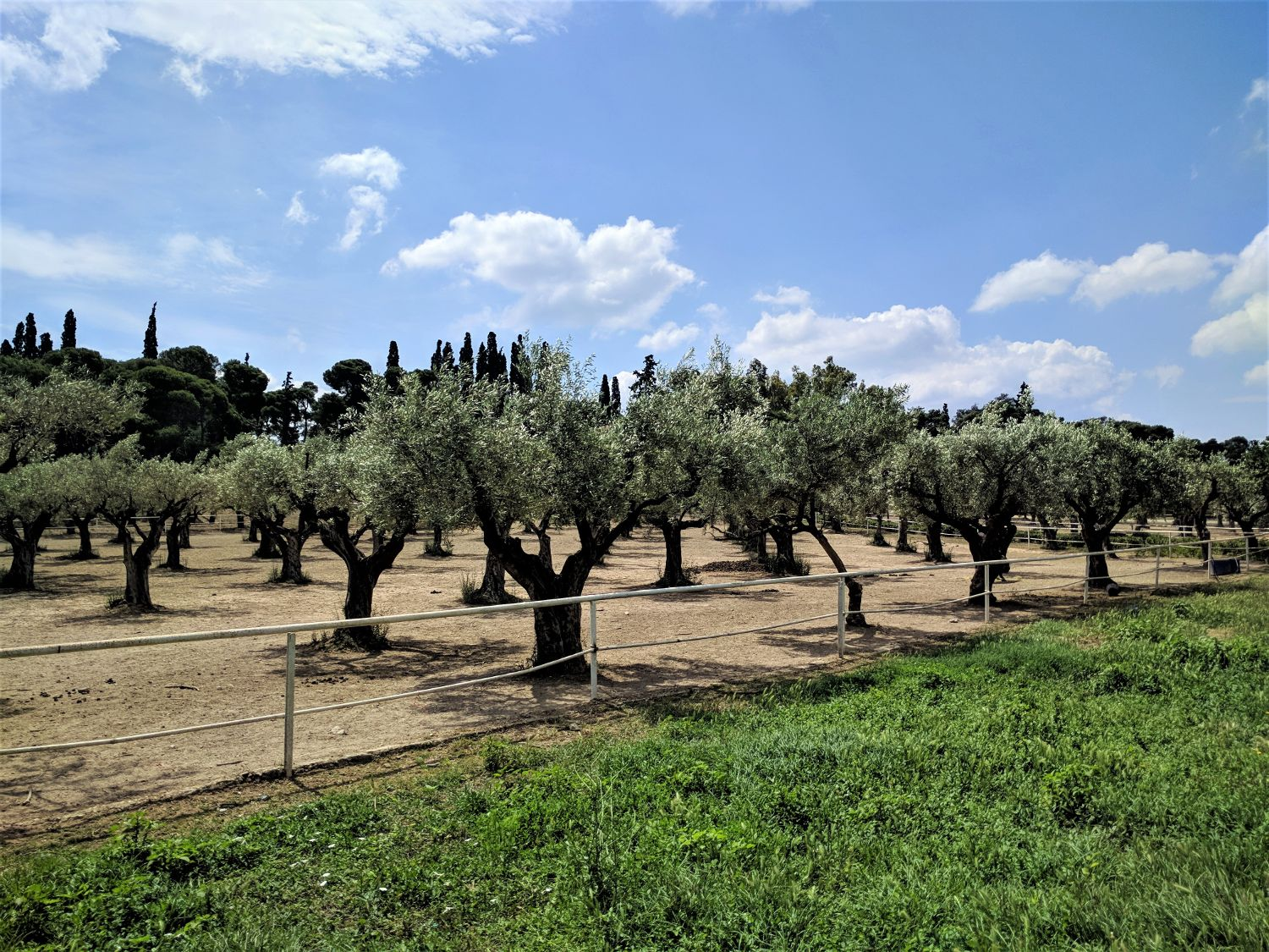 An olive grove in the city of Athens. Source: Truevoyagers