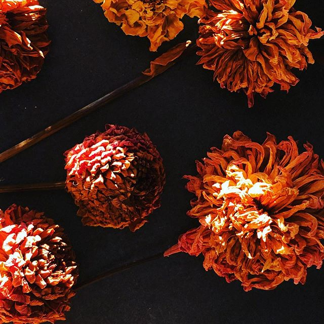 Beauty! Frozen in time dried #hamiltonlilliandahlia #unfurledvermont #driedflowers #farmerflorist #fallcolors🍁🍂 #stilllife #mood #fallmood