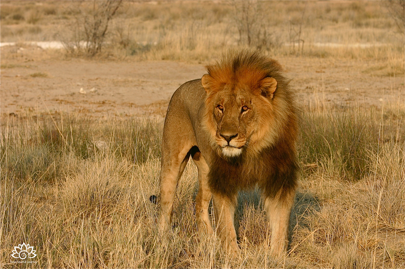 Photographing this Lion was one of my favorite Moments at Etosha National Park in Namibia - Photography by Paul Garrett