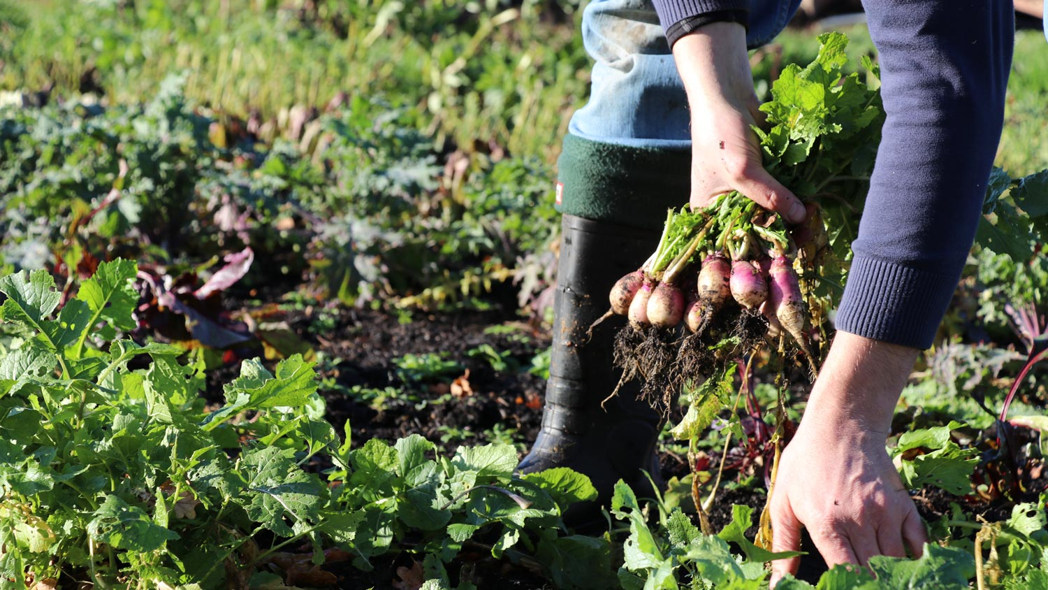 Radish-Indie-Ecology-Food-Waste-Farming-Farmer-Fresh-Sustainable.jpg