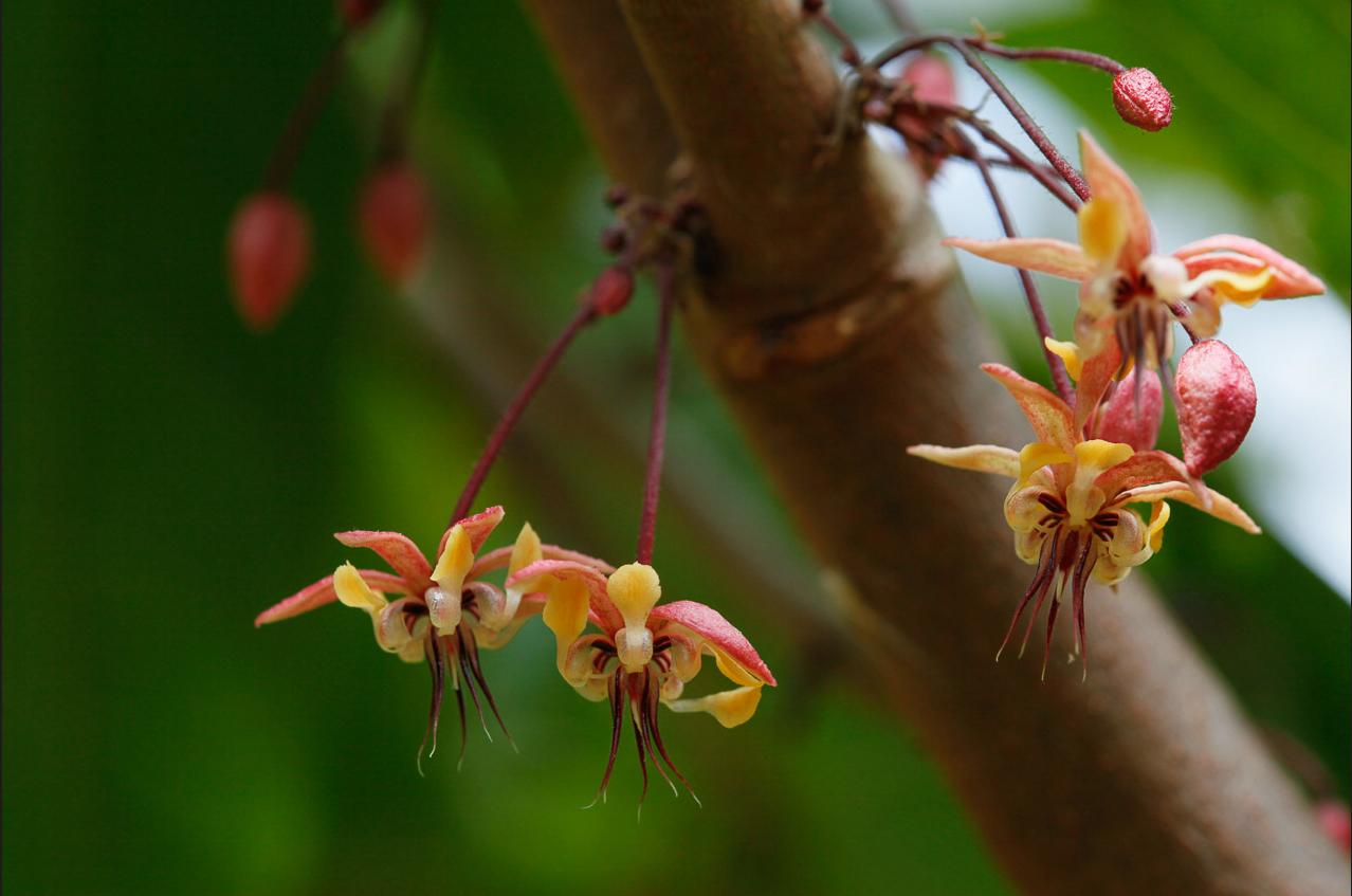 cacao.flower.jpg