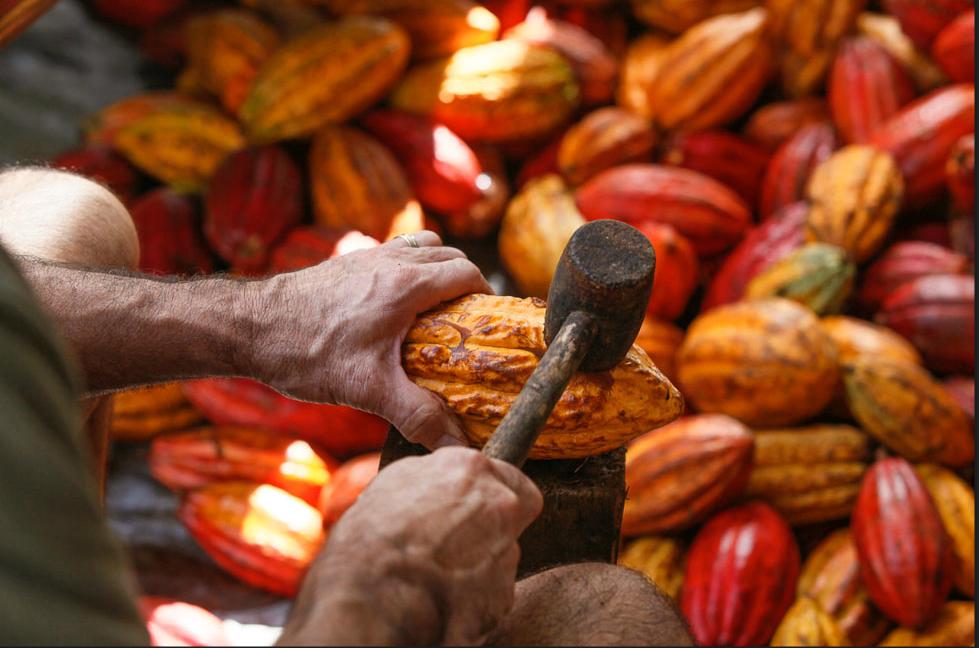 cacao.mallet.jpg