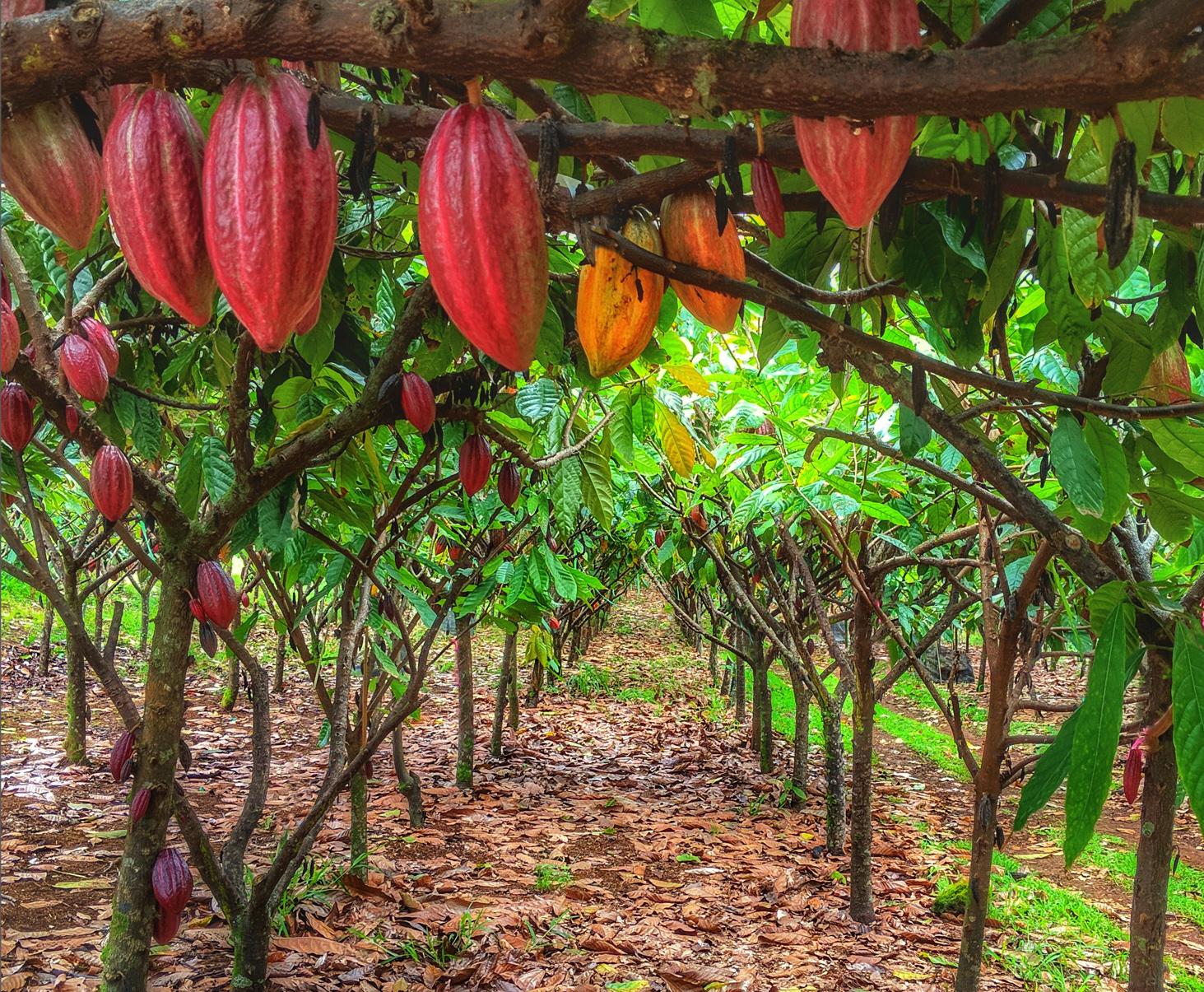 cacao.horiz.jpg