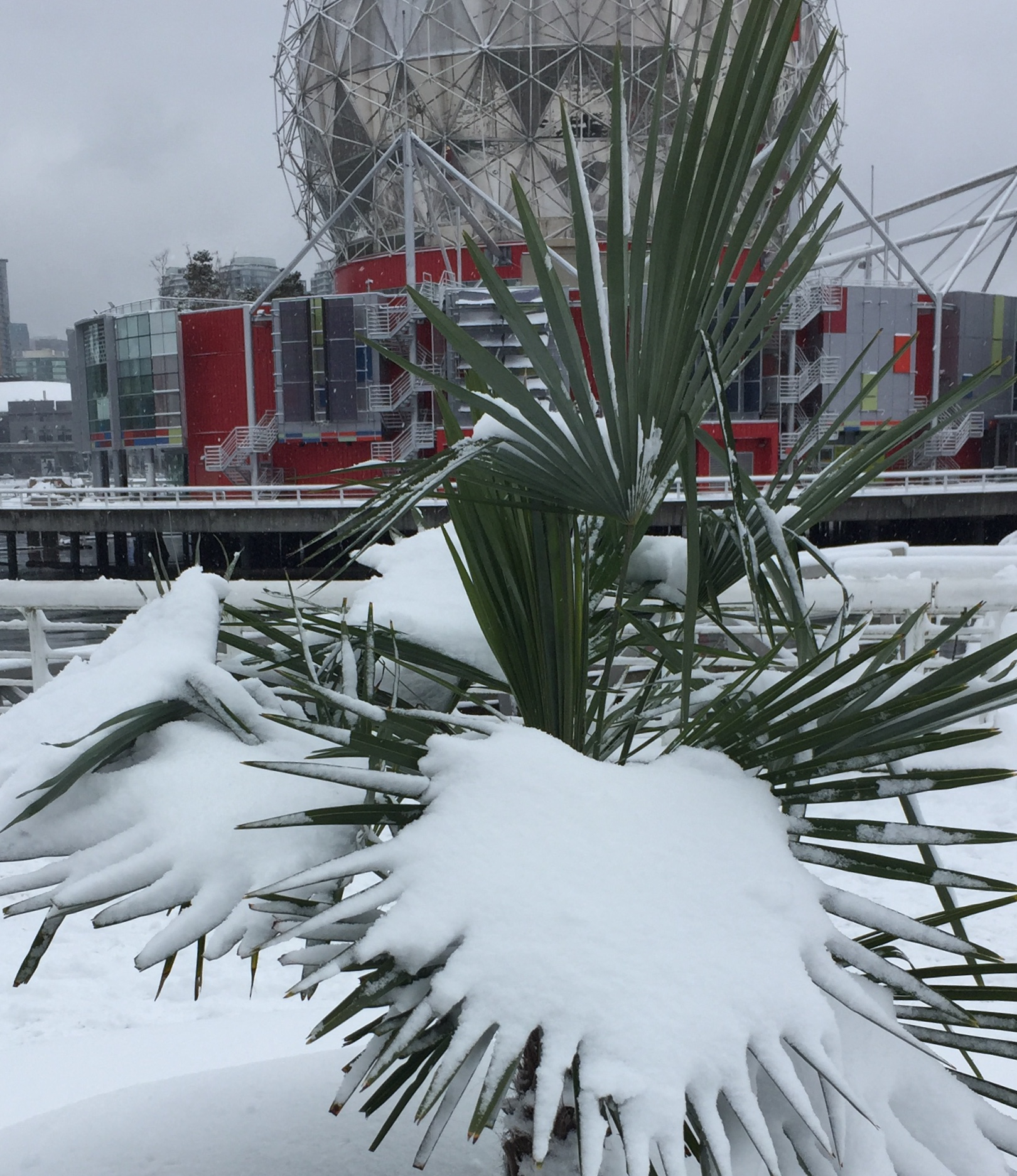 Palm tree covered in snow in front of the Science Center at False Creek