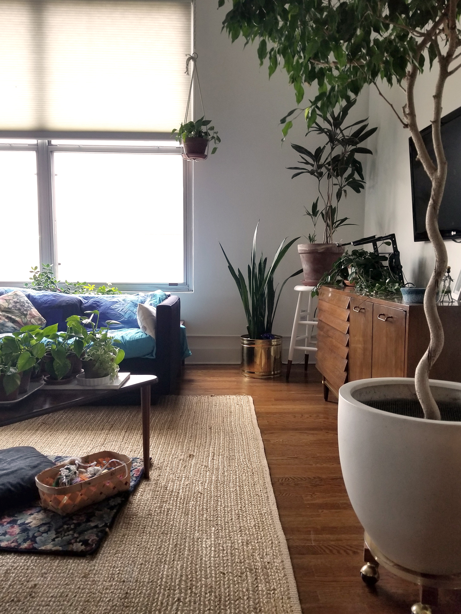 My own home today, L to R: pothos babies incubating on the coffee table, jade and umbrella plant under the window (not pictured, gardenia cutting and creeping fig), another pothos child hanging, snake plant in my mom's old brass planter, a weird craigslist dracaena, cutting from a cutting from my mom's mom's hoya plant, and finally the curvy trunk weeping fig. Sub floral textiles in lieu of fruit.