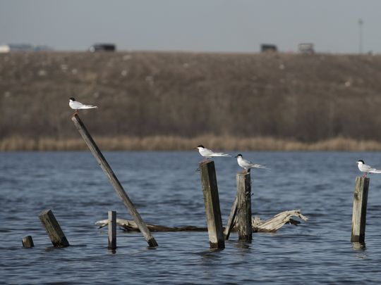 Forster's terns at the Kearny Marsh. Behind them rises the hill of a landfill. Photo: Michael Karas/Northjersey.com
