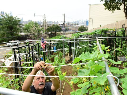 Konstantinos Natsis, 70, of Weehawken farms a steep plot of land overlooking the Lincoln Tunnel, with sweeping views of the Manhattan skyline.  Photo: Tariq Zehawi/NorthJersey.com