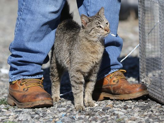 Bonnie Nilsen traps stray cats so they can be spayed or neutered and returned to their colonies.  Photo: Kevin R. Wexler/NorthJersey.com