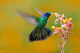 colibri.jpeg