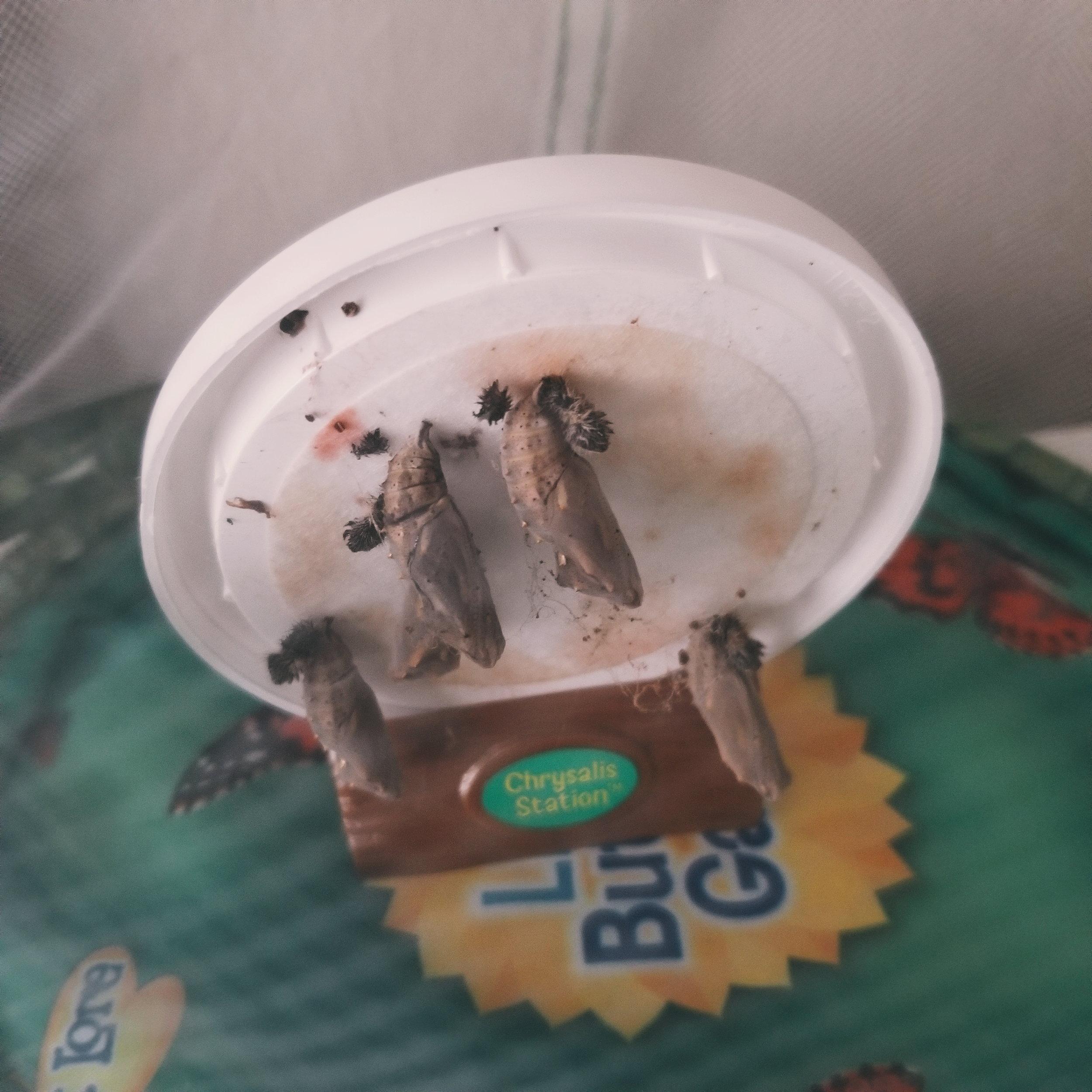 Butterfly Homeschool Unit