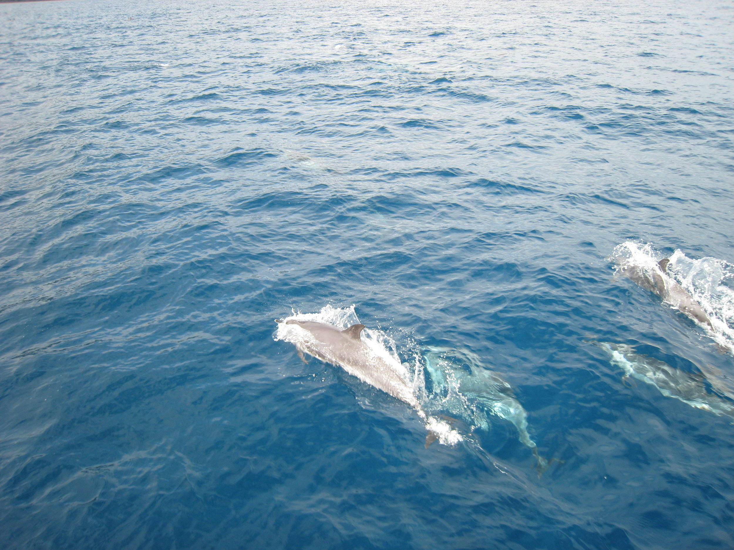 St Helena Dolphins.jpg