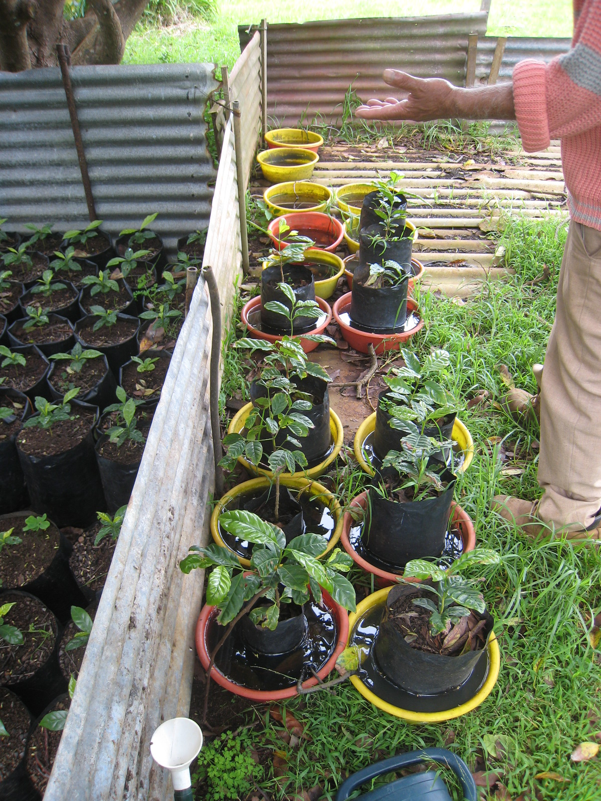 St Helena Coffee Nursery 1.jpg